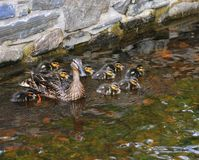 Caring for the Brood. Royalty Free Stock Image