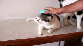Caring for cat fur. Hand combing by comb cat. Man brushing hair and brush fur comb of cat on table. Cats enjoy with her owner. stock video footage