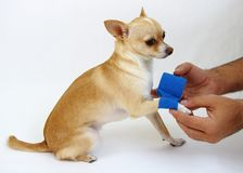 Caring for Dog with Hurt Leg. Small dog with hurt leg receiving care (White Background Royalty Free Stock Photography