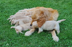 Caring dog. A purebred Golden Retriever protecting her puppies Stock Images