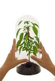 Caring for the environment. Woman hands carefully arranging a plant protected by a glass bell royalty free stock photo