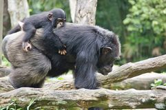 Caring family of monkeys Royalty Free Stock Image