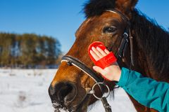 Caring for a horse after winter. Brushing the face to the brush.  stock images