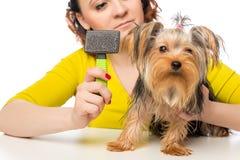 Caring hostess hold  brush for pet brushing wool Stock Images