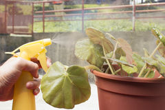 Caring for house plant begonia manicata. Stock Photography