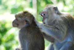Caring monkeys. Grey monkeys caring to each other Royalty Free Stock Photo