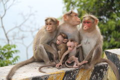 Caring monkeys Royalty Free Stock Images