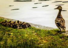 A Mother Duck Keeps Watch over her Brood at the Boston Public Garden. A caring mother watches over her brood of ducklings while they sleep royalty free stock photos
