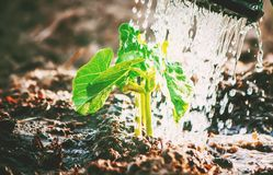 Caring for a new life. Watering young plants. The child`s hands. Selective focus Royalty Free Stock Photo