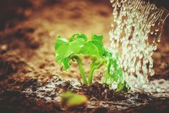 Caring for a new life. Watering young plants. The child`s hands. Selective focus Royalty Free Stock Photography