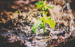 Caring for a new life. Watering young plants. The child`s hands. Selective focus Royalty Free Stock Images