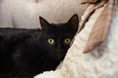 Black cat with yellow eyes with fear looks into space. Mental and emotional problems of cats royalty free stock photo
