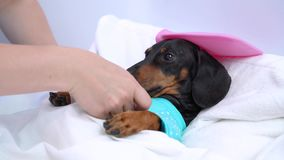 Caring for a sick dog lying on the bed like a real illness human face.  stock footage