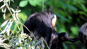 Caring white-faced saki family Royalty Free Stock Photos
