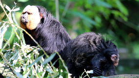Caring white-faced saki mother and child stock video