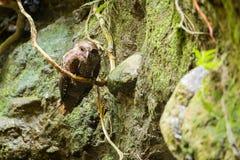 Caripensis de Steatornis d'Oilbird images stock