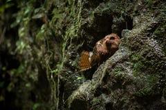 Caripensis de Steatornis d'Oilbird photos libres de droits