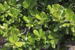 Carissa. In a tropical garden Stock Photo