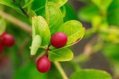 Carissa carandas,Bengal-Currants, Carandas-plum, Karanda Stock Photo