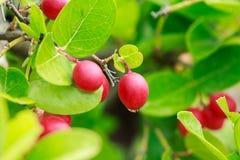 Carissa carandas,Bengal-Currants, Carandas-plum, Karanda Royalty Free Stock Image