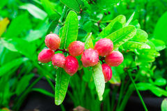 Carissa carandas or Bengal Currants is a species of flowering shrub in the dogbane family, Apocynaceae. It produces berry-sized fr Stock Image