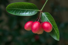 Carissa carandas fruit. In nature Royalty Free Stock Images