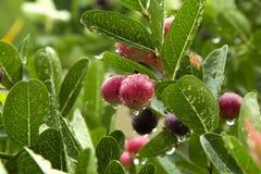 Carissa carandas Linn. (Bengal-Currants, Carandas-plum, Karanda) fruits and herbs, in the rainy season, moist with water Royalty Free Stock Images