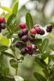 Carissa carandas Linn. (Bengal-Currants, Carandas-plum, Karanda) fruits and herbs, in the rainy season, moist with water Stock Images