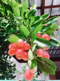 Carissa carundas, Karonda or Bengal Current. Healthy fruit, Fresh fruit on the  garden Royalty Free Stock Images