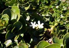 Carissa Grandiflora-Bl?te, wei?e Blumen mit starkem Geruch stockfotografie