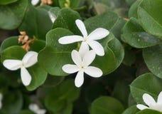 Carissa grandiflora blossom Stock Photography