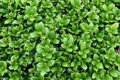 Carissa Holly Bush evergreen, kompakt växt, 24 tum royaltyfri foto