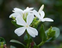 Carissa macrocarpa. Natal Plum Carisse Stock Photo