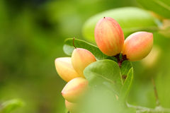 Carissa 's pink fruit (Carissa carandas) Royalty Free Stock Images