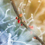 Carlet μύκητες φλυτζανιών νεραιδών - coccinea Sarcoscypha Στοκ εικόνες με δικαίωμα ελεύθερης χρήσης