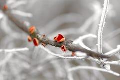Carlet Elf Cup Fungi - Sarcoscypha coccinea Stock Photography