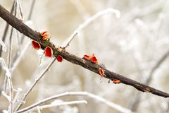 Carlet Elf Cup Fungi - Sarcoscypha coccinea Royalty Free Stock Photo