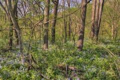 Carley国家公园是在罗切斯特,有会开蓝色钟形花的草的明尼苏达西北部的乡区晚春 库存图片