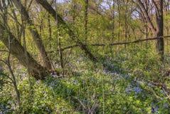 Carley State Park is een plattelandsgebiednoordwesten van Rochester, Minnesota met Klokjes in de recente Lente royalty-vrije stock afbeeldingen