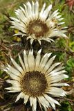 Carlina acaulis Stock Images