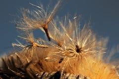 Carlina acaulis - Samen und Samenkopf eines silbernen Distel beginn Stockfotografie