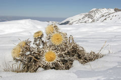 Carlina vulgaris in late winter Royalty Free Stock Images