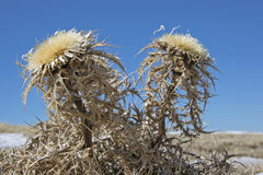 Carlina vulgaris in late winter Stock Photography