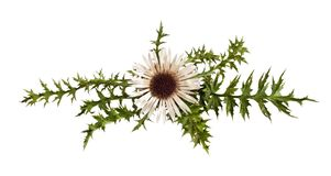 Free Carline Thistle Stock Photos - 33968863