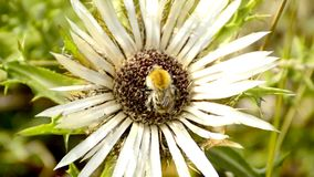 Carline thistle with bumblebee stock video footage