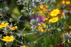 carline thistle för acauliscarlina Royaltyfri Foto
