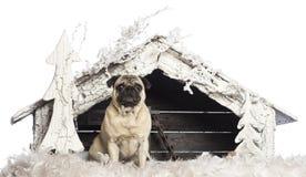 Carlino che si siede davanti alla scena di natività di Natale Fotografia Stock