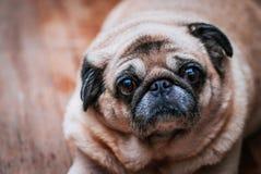 Carlino del cane che esamina macchina fotografica Immagini Stock Libere da Diritti