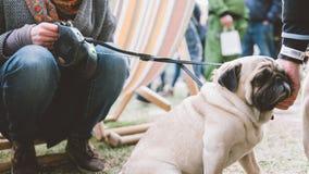 Carlino del cane su un guinzaglio La cultura dei carlini e dei loro proprietari Fuoco poco profondo Immagine Stock Libera da Diritti