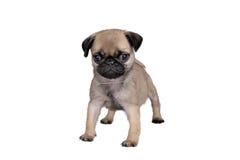 Carlino del cucciolo fotografie stock